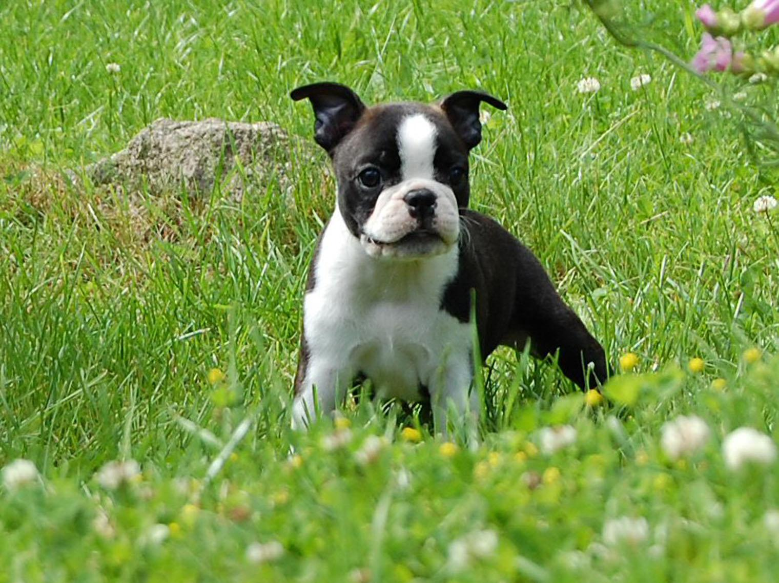 Boston Terrier on the meadow wallpaper