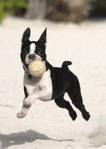Boston Terrier with a ball