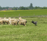 Bouvier des Ardennes and sheep