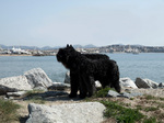 Bouvier des Flandres in the port