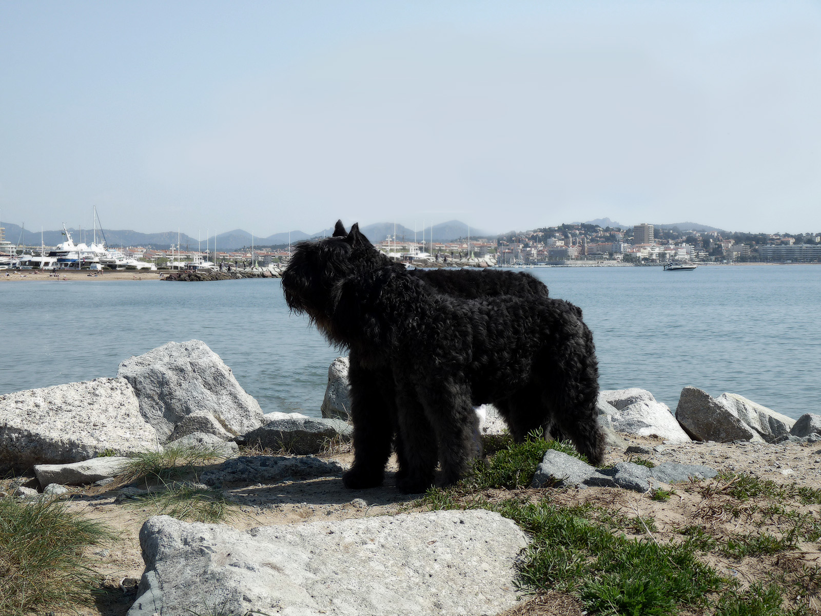 Bouvier des Flandres in the port wallpaper