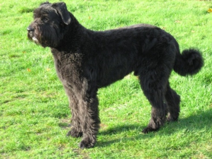 Bouvier des Flandres wallpaper