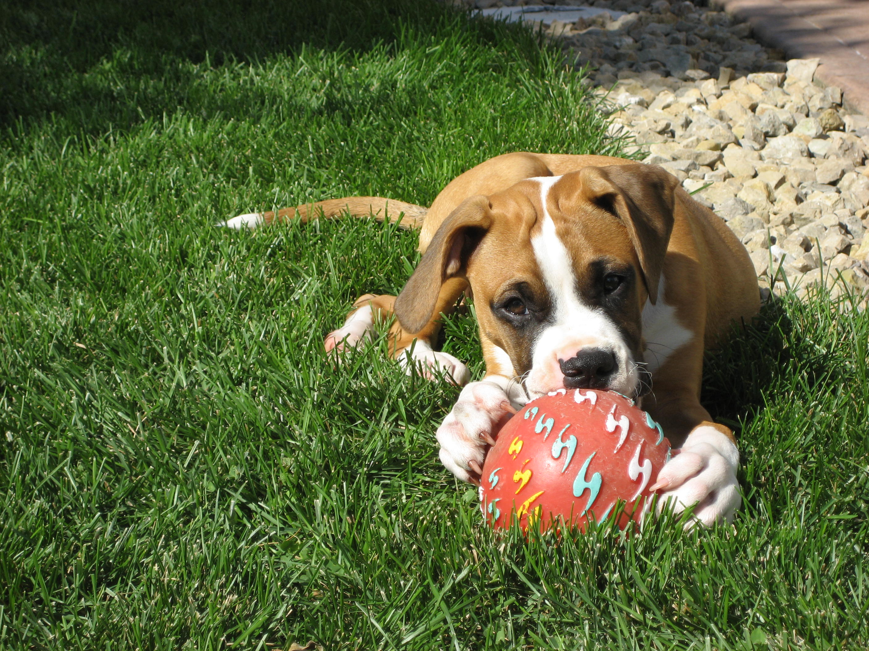 Boxer and his toy wallpaper