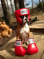 Boxer Boxing Day