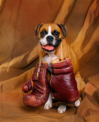 Boxer portrait wallpaper
