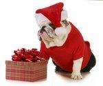 Boxing Day Bulldog