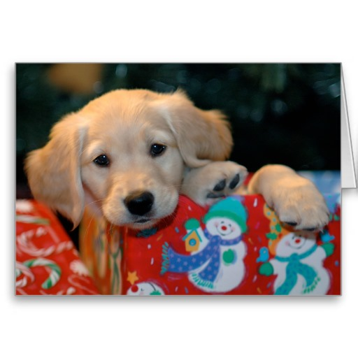 Boxing Day Golden Retriever puppy wallpaper