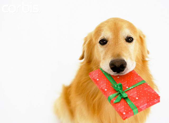 Золотистый Ретривер на День подарков фото