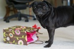 Boxing Day pug
