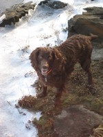 Boykin Spaniel near the water