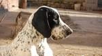 Braque d'Auvergne dog Zoe
