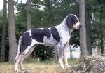 Brave Bleu de Gascogne Grand dog