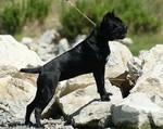 Brave Corso dog