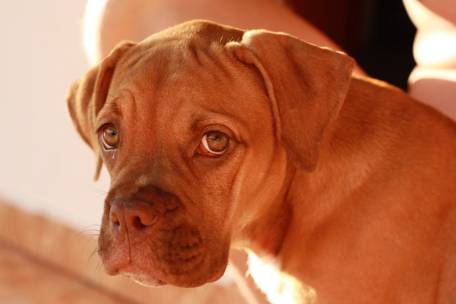 Brazil Bulldog Campeiro dog wallpaper