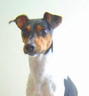 Brazilian Terrier wallpaper