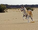 Пятнистый акита-ину в пустыне