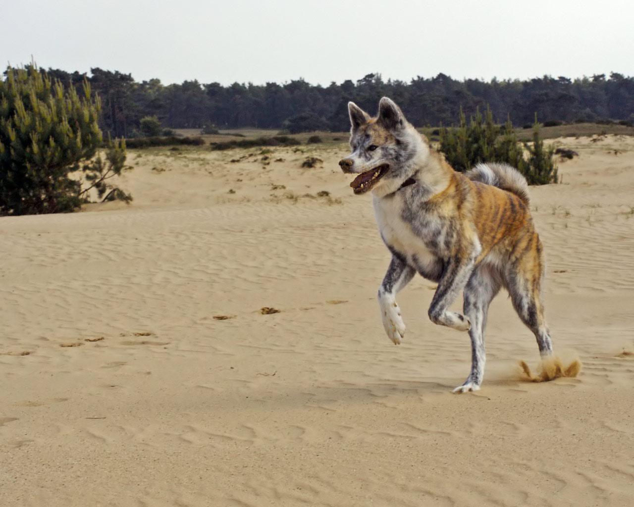 Пятнистый акита-ину в пустыне фото