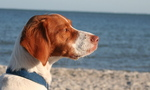 Brittany dog on the seaside