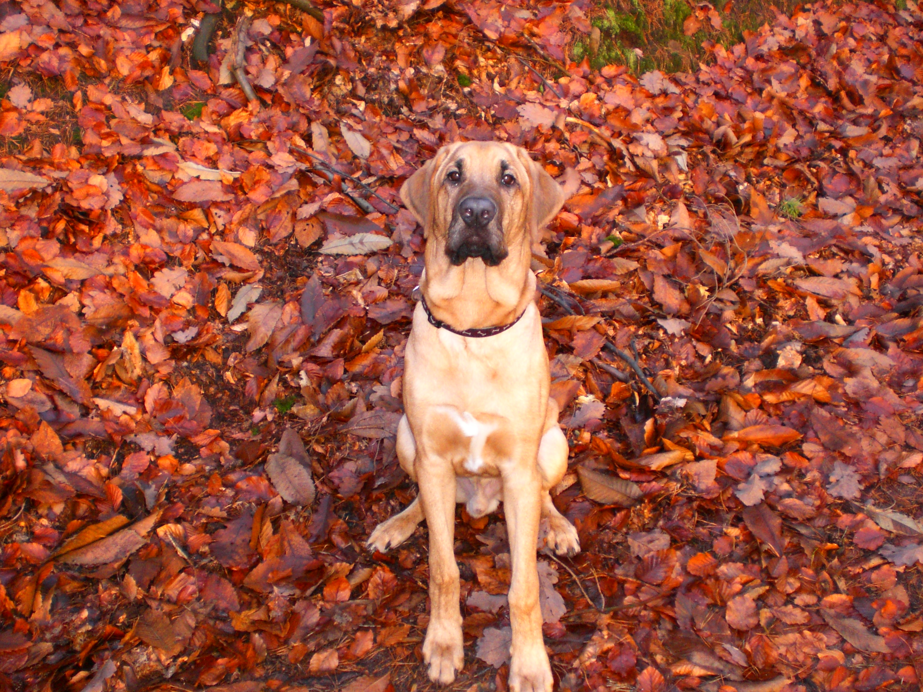 Broholmer dog on the leaves wallpaper
