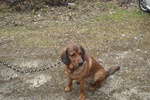Brown Alpine Dachsbracke