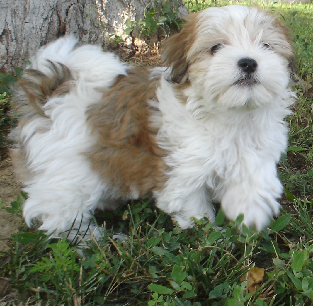 Brown and white Havanese dog  wallpaper