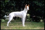 Brown and White Ibizan Hound dog