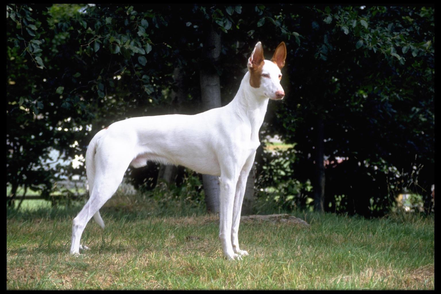 Brown and White Ibizan Hound dog wallpaper