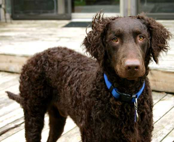 Brown Curly Coated Retriever dog wallpaper