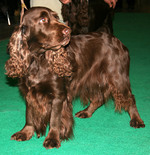 Brown Field Spaniel dog