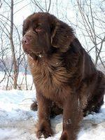 Коричневая московская водяная собака