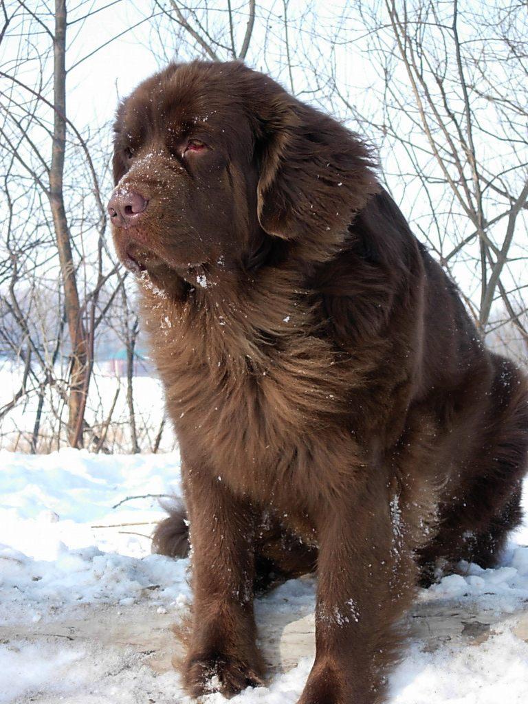 Коричневая московская водяная собака фото