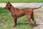Brown Phu Quoc ridgeback dog
