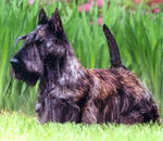Brown Scottish Terrier dog