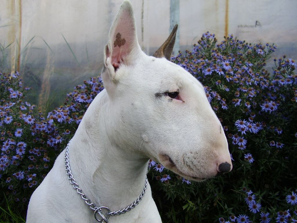 Bull Terrier and flowers wallpaper