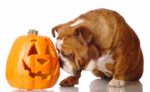 Bulldog and pumpkin Halloween