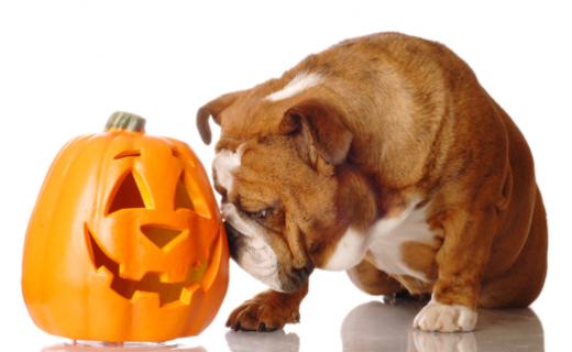 Bulldog and pumpkin Halloween фото