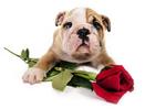 Bulldog and rose