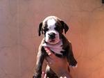 Bulldog Campeiro puppy