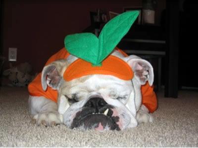 Bulldog pumpkin wallpaper