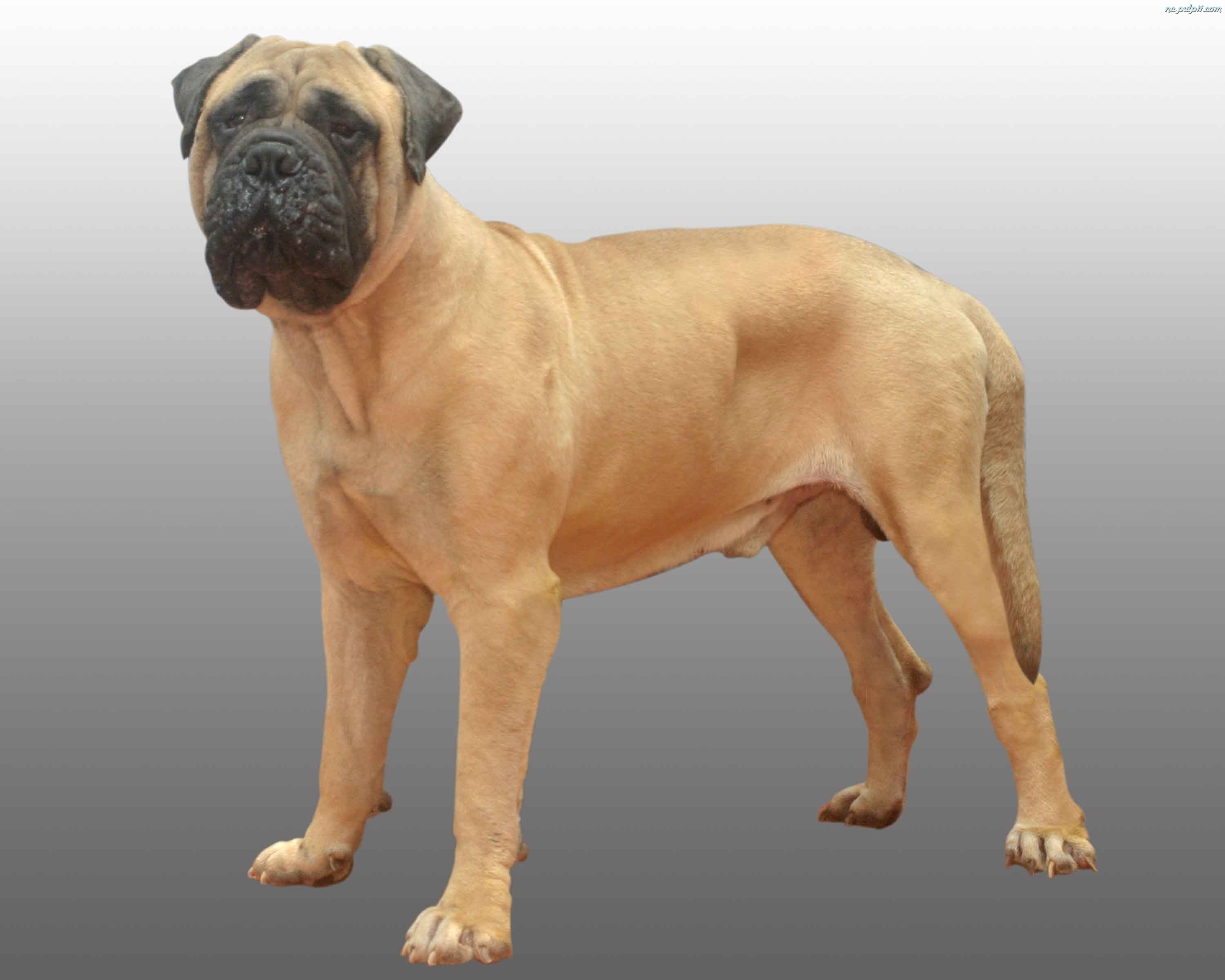 Bullmastiff dog wallpaper