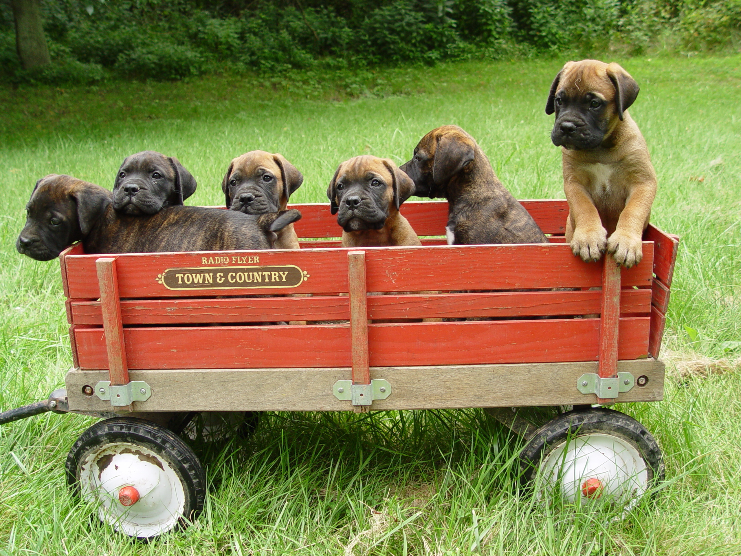 Bullmastiff puppies in a wagon wallpaper