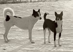 Canaan Dog black and white