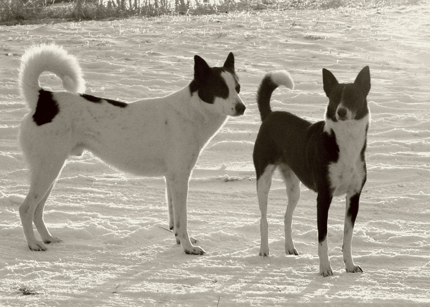 Canaan Dog black and white photo and wallpaper. Beautiful ...