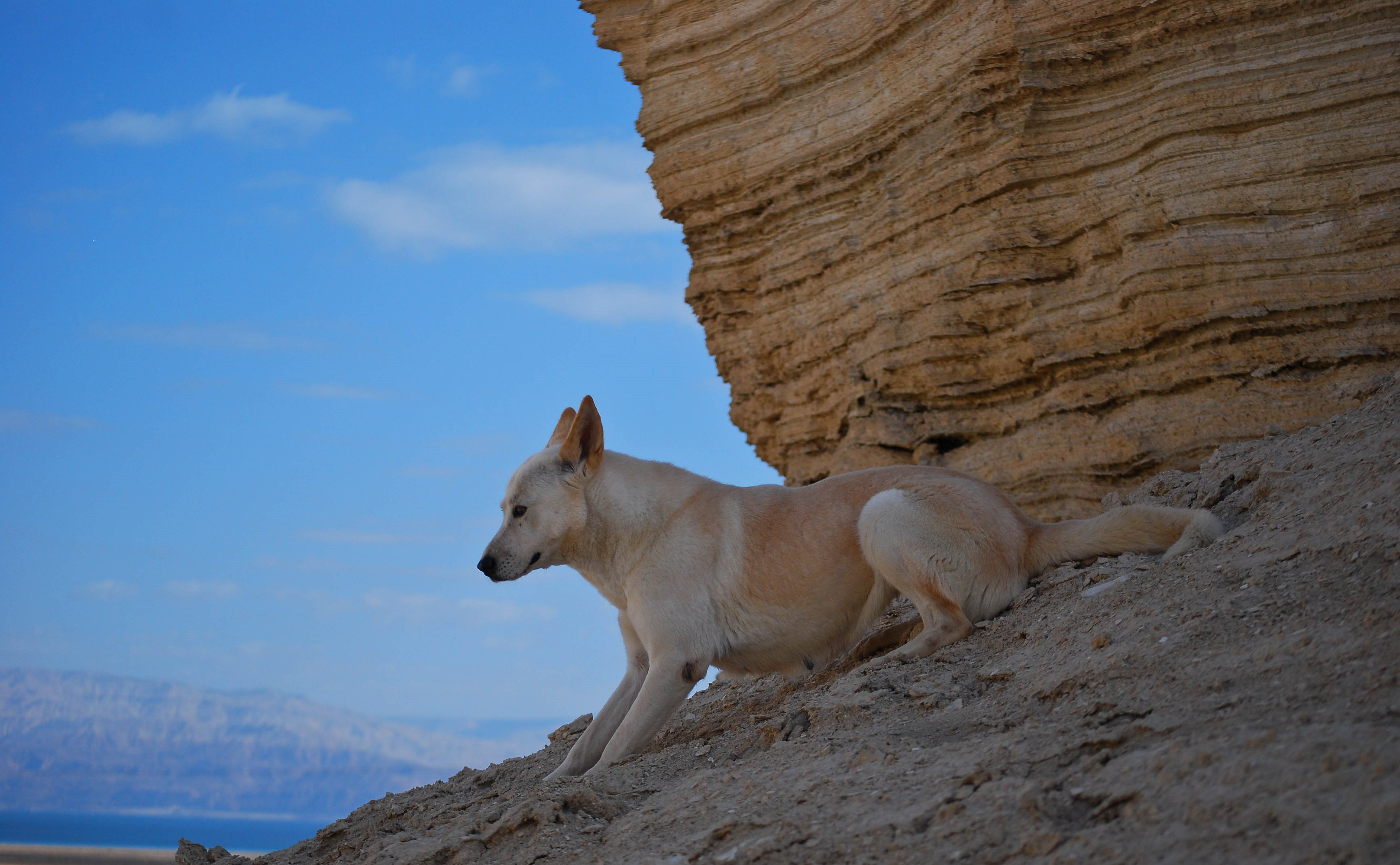 Canaan Dog wallpaper