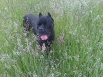 Cane Corso in the grass
