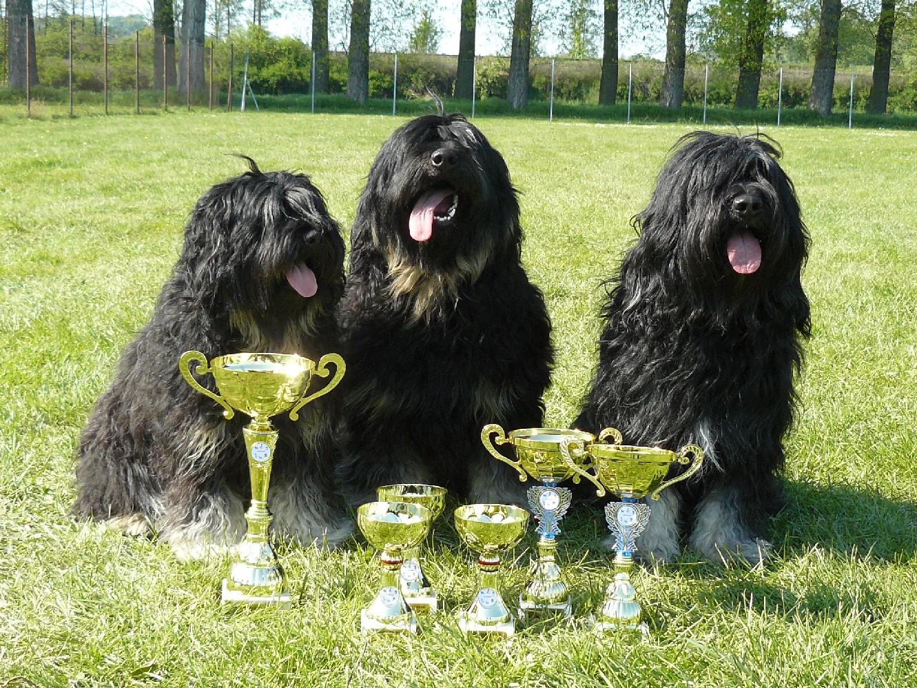 Португальские овчарки с наградами фото
