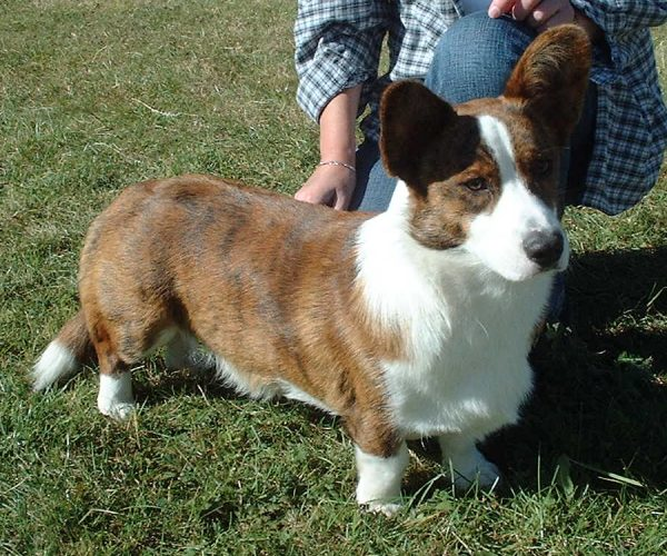 Welsh Corgi, Cardigan wallpaper
