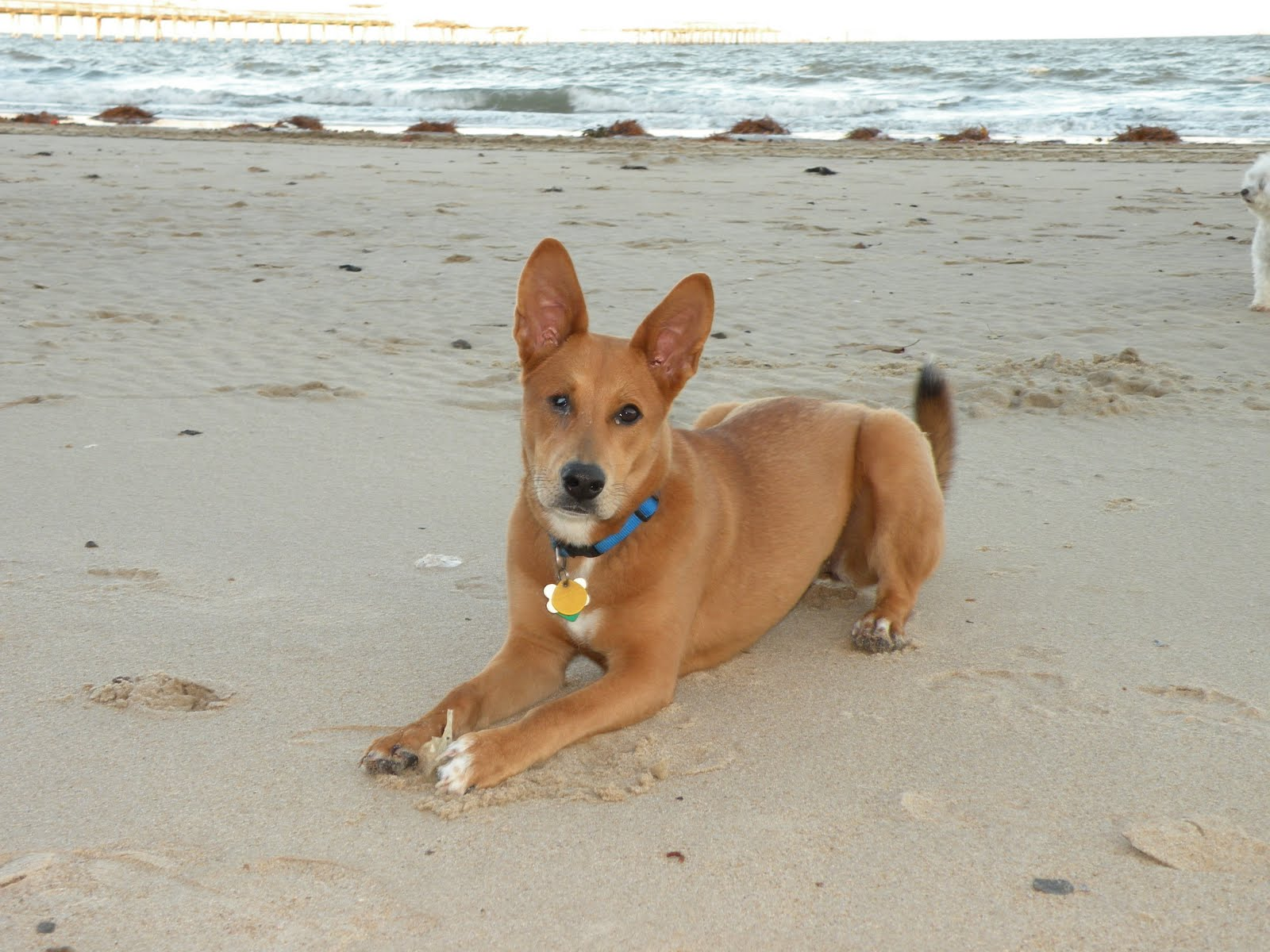 Carolina Dog on the beach wallpaper