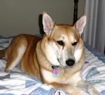 Каролинская собака на кровати