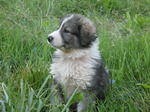Carpathian Shepherd dog in the grass